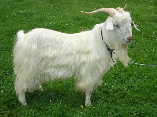Meet the Animals – Laughing Goat Fiber